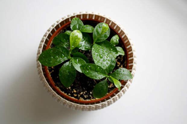 Цитрусовые любят повышенную влажность