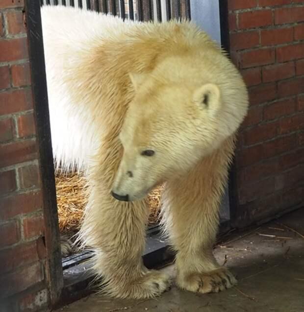 В поисках корма белая медведица преодолела более 500 км
