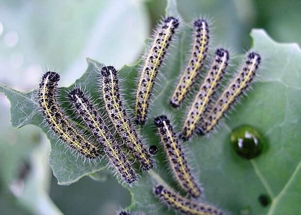 Меры борьбы с капустницей
