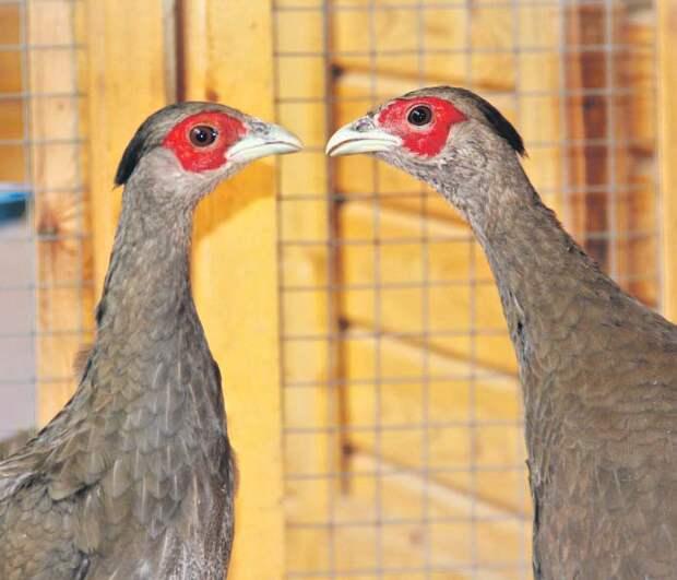 Гуси и фазаны вернулись в вольерный комплекс в Серебряном бору