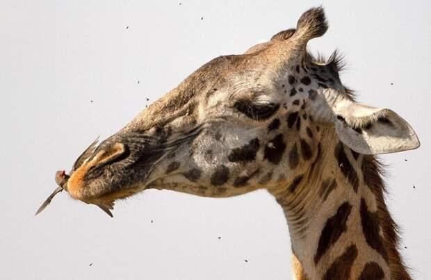 Фотографии из Национального парка Килиманджаро демонстрируют симбиоз жирафов с буйволовыми скворцами буйволовый скворец, животные, жираф, зуб, стоматолог, танзания, фото