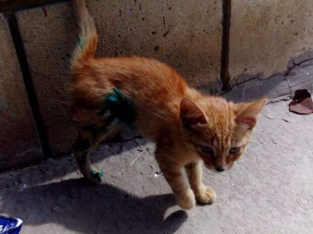 Во дворе появился облитый зеленкой котенок без лапки история, котенок, приют, рыжий котенок