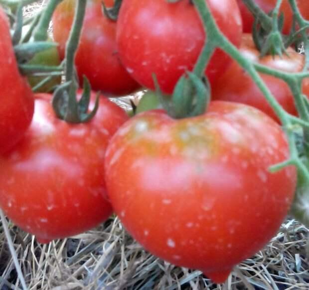 Томаты для открытого грунта – опытный томатовод рассказывает о своих любимых сортах