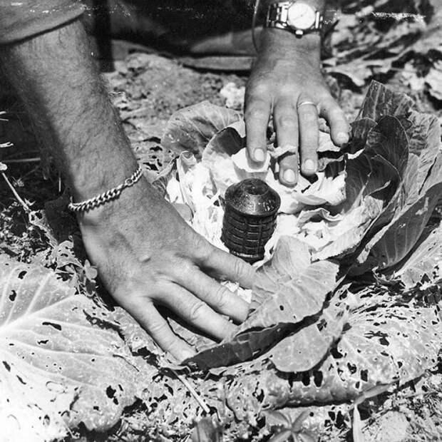 Заминированная японскими войсками капуста. Использована граната тип 97. Окинава, апрель 1945 года. история, ретро, фото