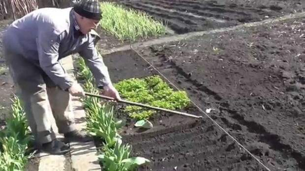 Мужчина подготавливает почву на грядке для петрушки