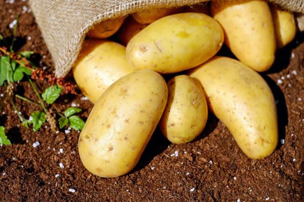 Дачникам напомнили о правилах посадки картофеля для хорошего урожая