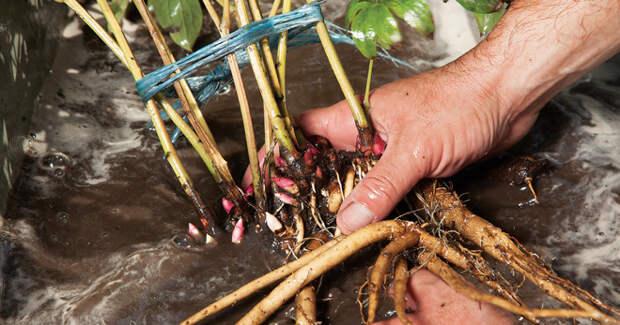 Пересадка пионов осенью на другое место – особенности проведения процедуры для древовидных и травянистых видов