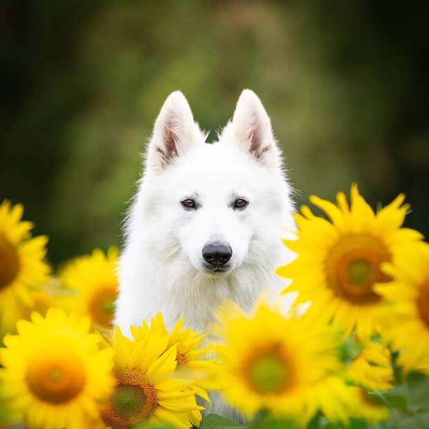 Собаки в подсолнухах