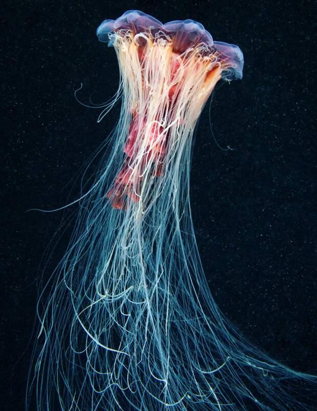 Волосистая цианея (лат. Cyanea capillata)