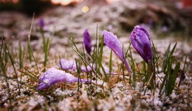 Крокусы: как ухаживать за растением в домашних условиях - Огород, сад, балкон