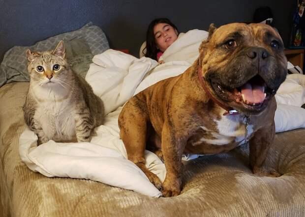 серый кот, ребёнок и тигровая собака