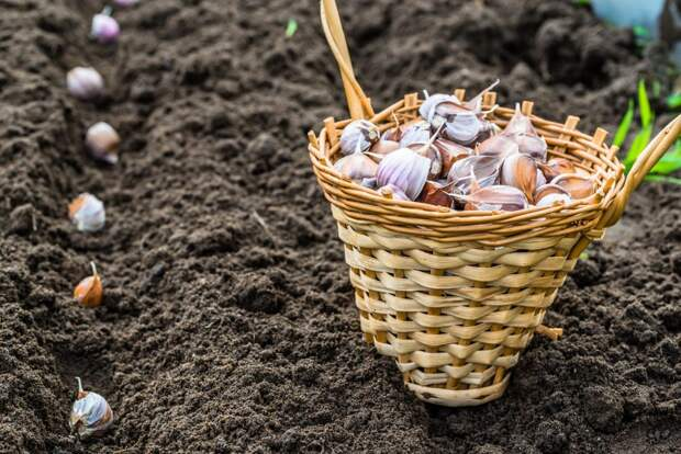 Повышаем чесночный урожай