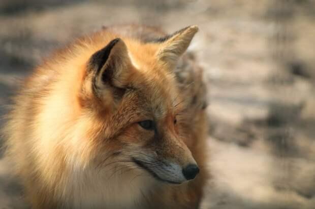 На Дыбенко была замечена  рыжая лисица