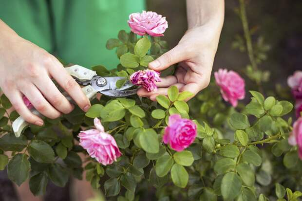 Розы летом: как правильно ухаживать, чтобы продлить цветение и подготовить к зиме