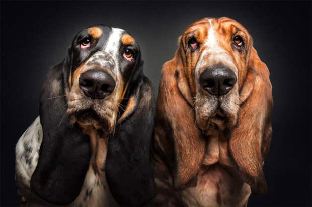 Флегматичные бассет-хаунды пытаются понять – что же задумал фотограф?