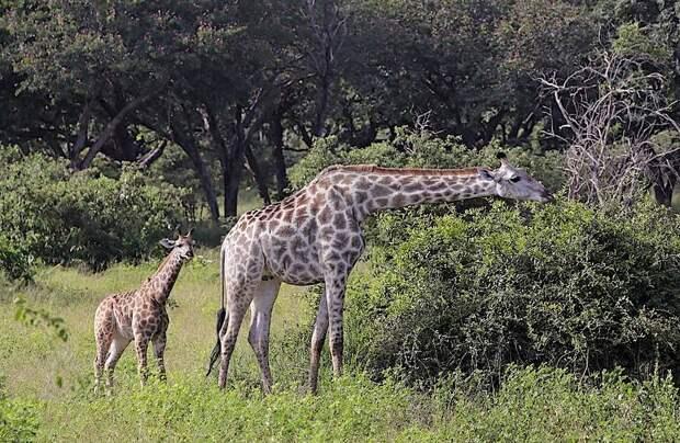В Африке впервые нашли жирафов-карликов