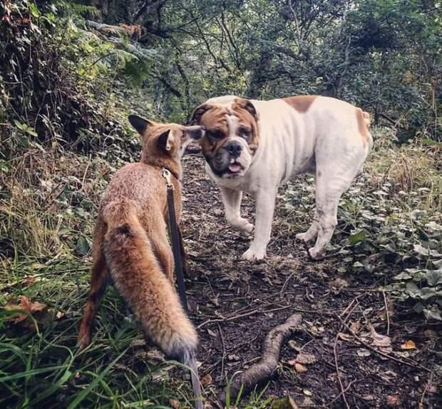 Лиса и бульдог - лучшие друзья