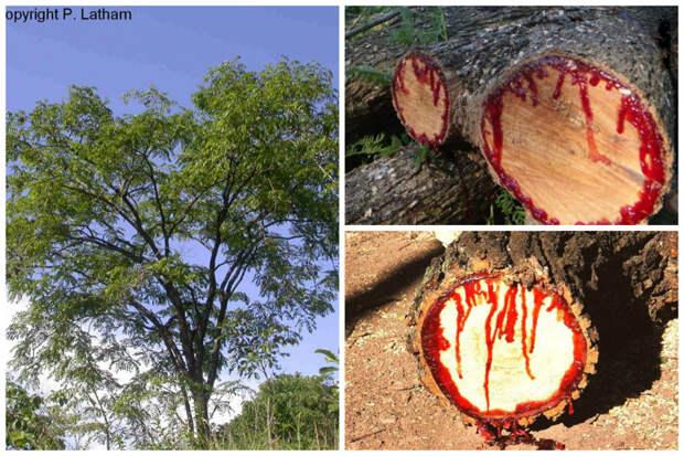 Кровавое дерево (Pterocarpus angolensis) - спиленное дерево начинает выделять красный сок и ветка становится похожа на ногу какого-то гигантского животного, истекающего кровью деревья, невероятное, природа, удивительное, флора