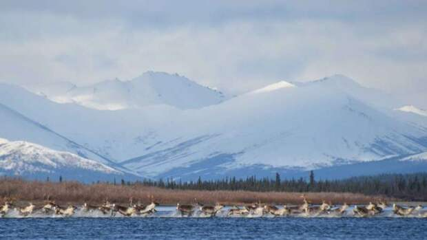 Северные олени оказались чемпионами по дальности миграций