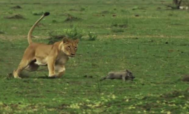 Леопард вышел на охоту и получил урок от старого бородавочника