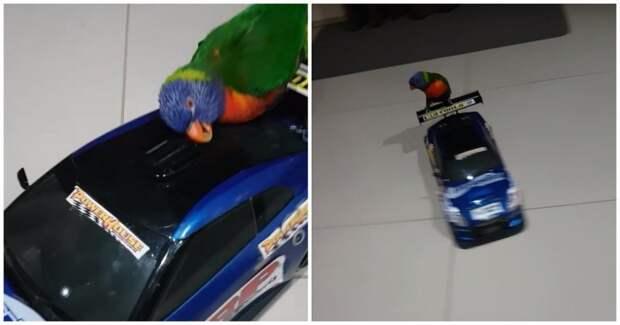 Попугай обожает кататься на радиоуправляемой машинке для дрифта видео, дрифт, животные, игрушка, попугай, прикол, птицы, юмор