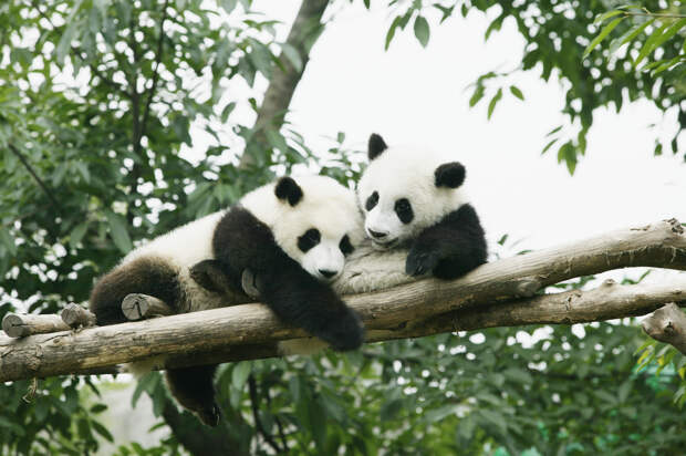 Пандемия ударила по пандам