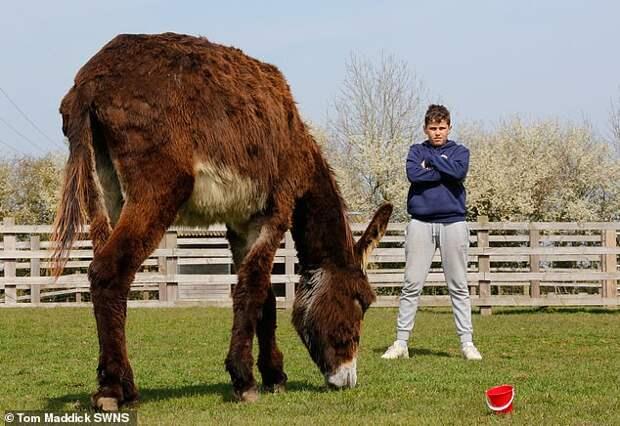 Осёл по имени Деррик собирается стать самым огромным ослом в мире интересное, осёл, рекорд, фото