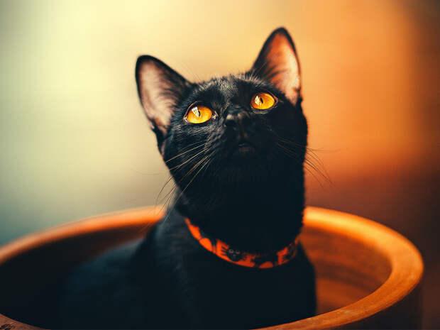 Вприютах предупредили обопасности Хеллоуина для черных котов