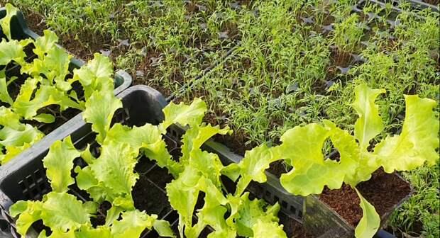 Уже решили что будете сажать в своем огороде, но не знаете когда начинать, загляните, подскажу.