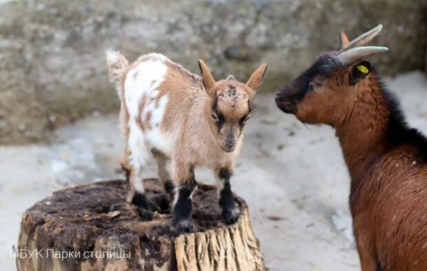 В зооуголке симферопольского Детского парка родилась козочка Ромашка