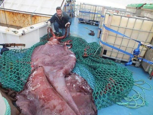 Мифы и правда о гигантских кальмарах