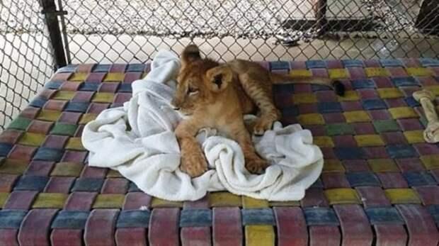 Спасенный львёнок не может спать без одеяла, несмотря на то, что он уже взрослый