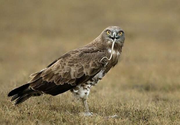 Победитель с добычей в клюве Тамилнад, животные, змея, индия, орел, схватка, хищник