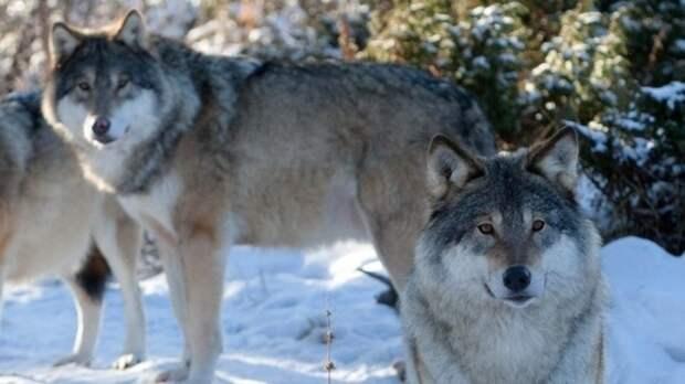 ВИлекском иБеляевском районах замечены волки