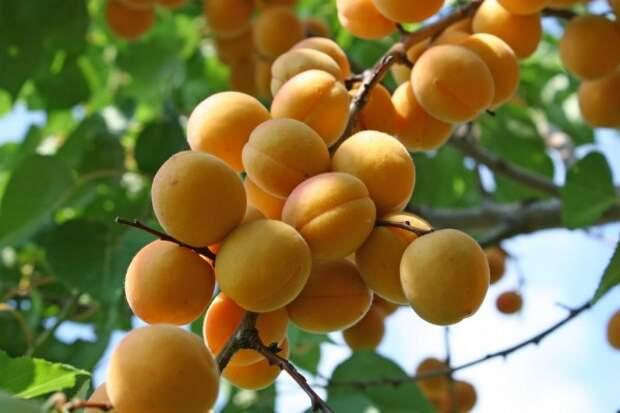 В Севастополе аграрии собрали тонны фруктов