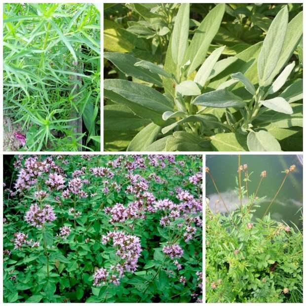 Пряные травы: условия зимовки