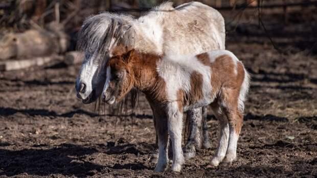 Детеныш шетлендского пони родился взоопарке Ростова