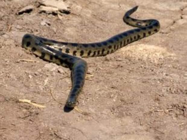 Анаконда — водяная змея