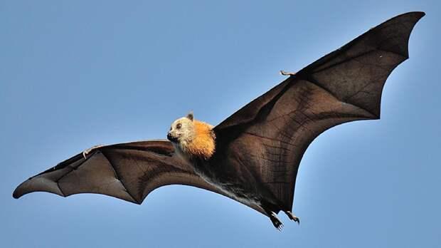 Летучие мыши, вторжение в природу и новые пандемии