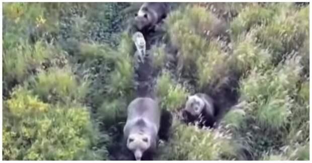 Собака подружилась с семейством медведей и ушла с ними в лес Усть-Камчатск, видео, дружба, животные, медведи, медведь, собака