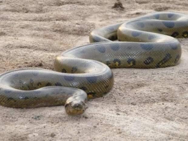 Анаконда змея. Описание, виды и образ жизни анаконды