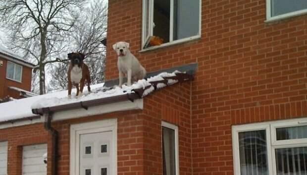 """25. """"Когда нам с улицы крикнули, что у нас собаки на крыше, мы думали, что это шутка. Но никто не шутил"""" боксеры, боксёры, домашние животные, смешные фото, смешные фотографии, собаки, собаки и хозяева, четвероногие питомцы"""