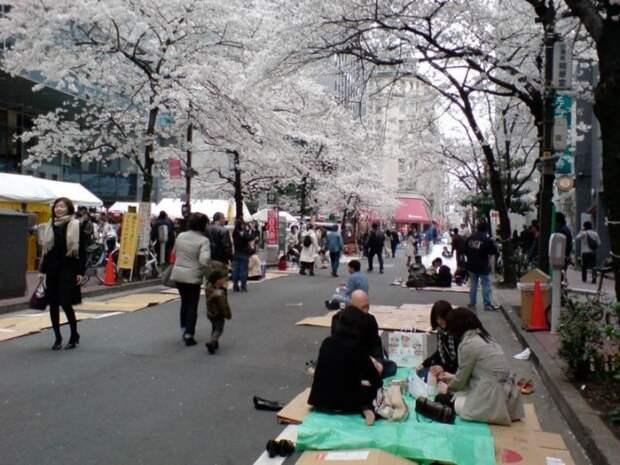 Цветение белой сакуры. Празднование ханами в Японии. Фото