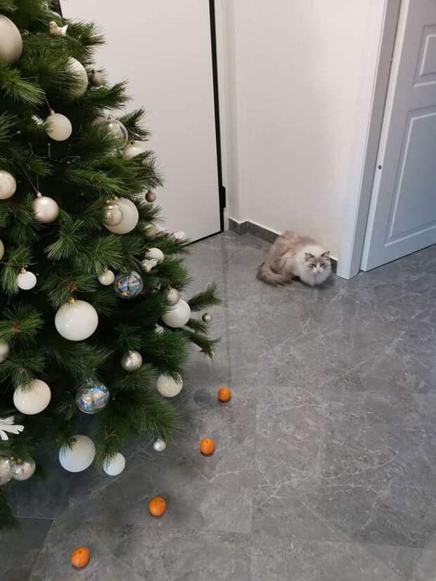 Все любят мандаринки, но только не кот Виктор. И хозяйка решила использовать его страх себе на пользу
