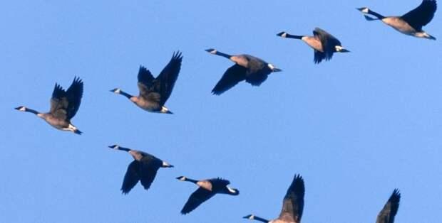 Почему птицы летают клином ?