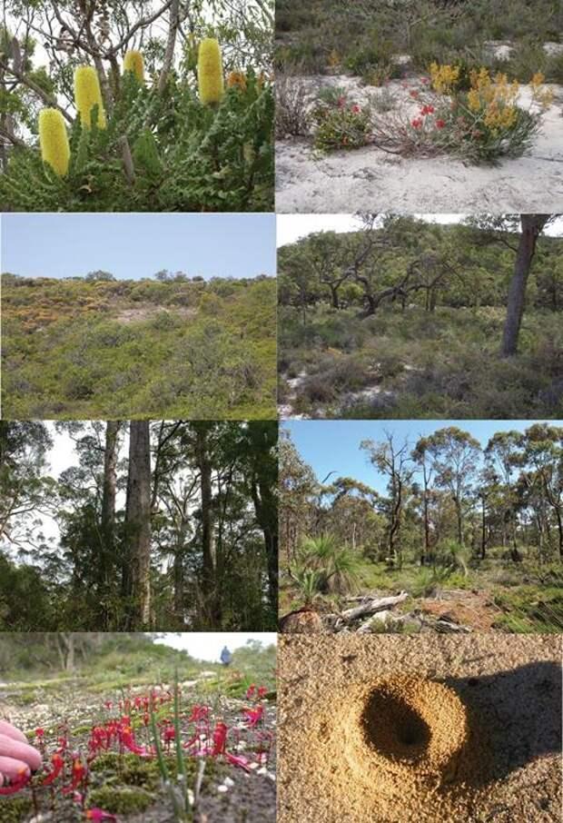 На фото австралийские растения-эндемики, которые гибнут или плохо растут на почвах с нормальным содержанием фосфора, но процветают на обедненных. Если в Австралию вернуть истребленных человеком крупных травоядных, эти эндемики снова вернутся к прозябанию: они не умеют ограничивать поглощение ими фосфора, и поэтому нормальные почвы для них «яд» / ©Hans Lambert