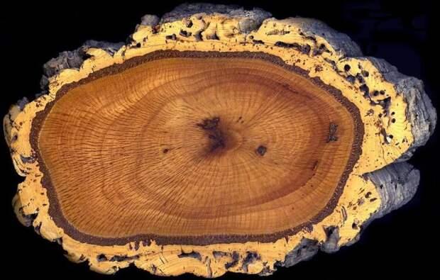 Поперечный спил ствола пробкового дуба Quercus suber.