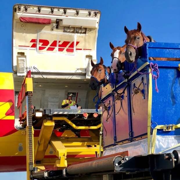 Табун уходит внебо: как лошадей перевозят насамолетах