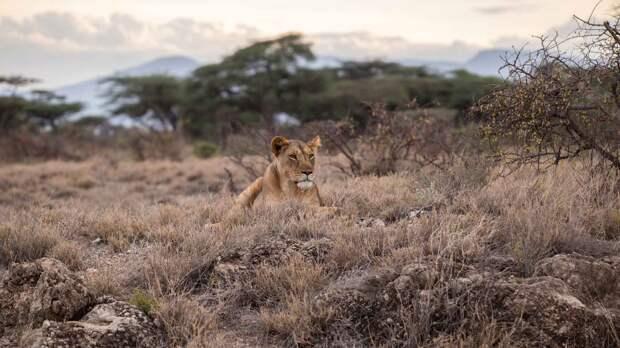 Лев - царь зверей, но является уязвимым видом