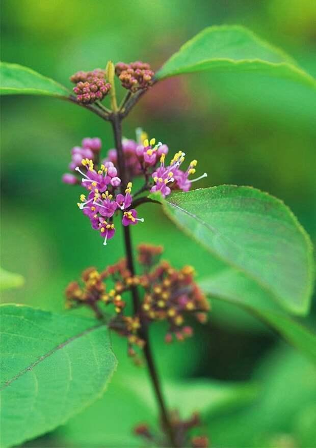 Цветы красивоплодника